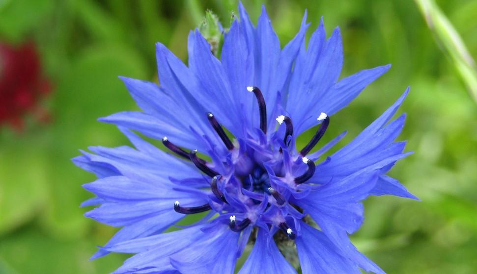 Fleurs comestibles : Le bleuet