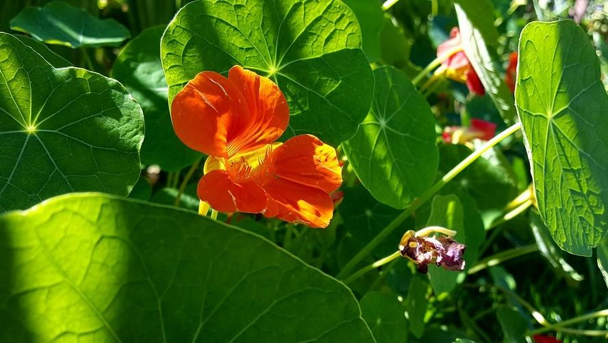 Fleurs comestibles : La capucine