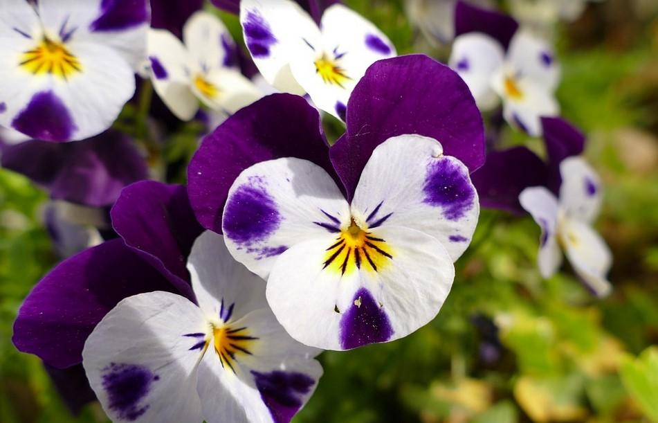 Fleurs comestibles : La pensée