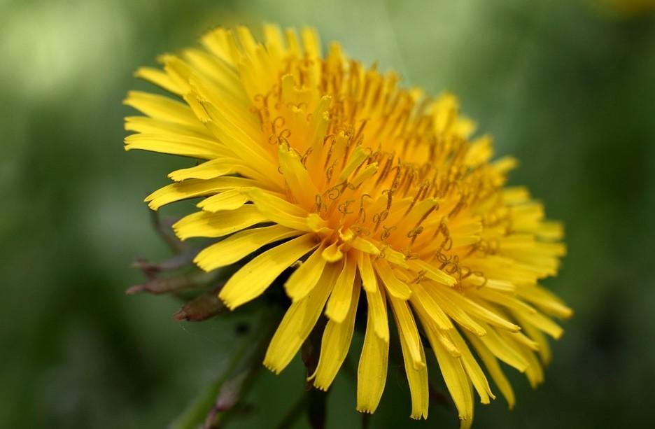 Fleurs comestibles : Le pissenlit